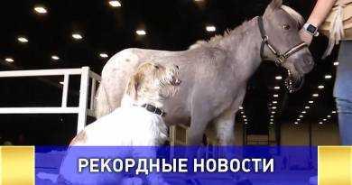 Самого маленького в мире жеребца показали в Петербурге