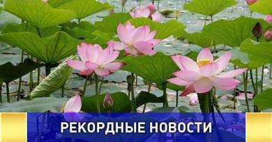 Самое северное озеро лотосов в России